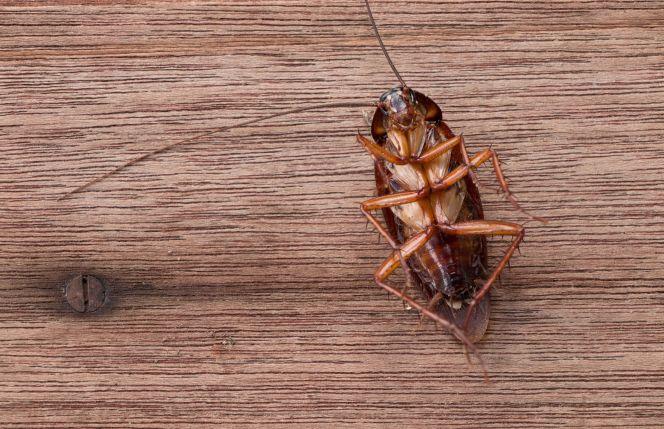 Roach Universal Pest