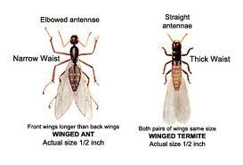termite-versus-ant